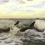 pair of dolphins in gulf of mexico