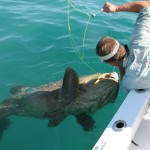 Massive Goliath Grouper in Naples Florida